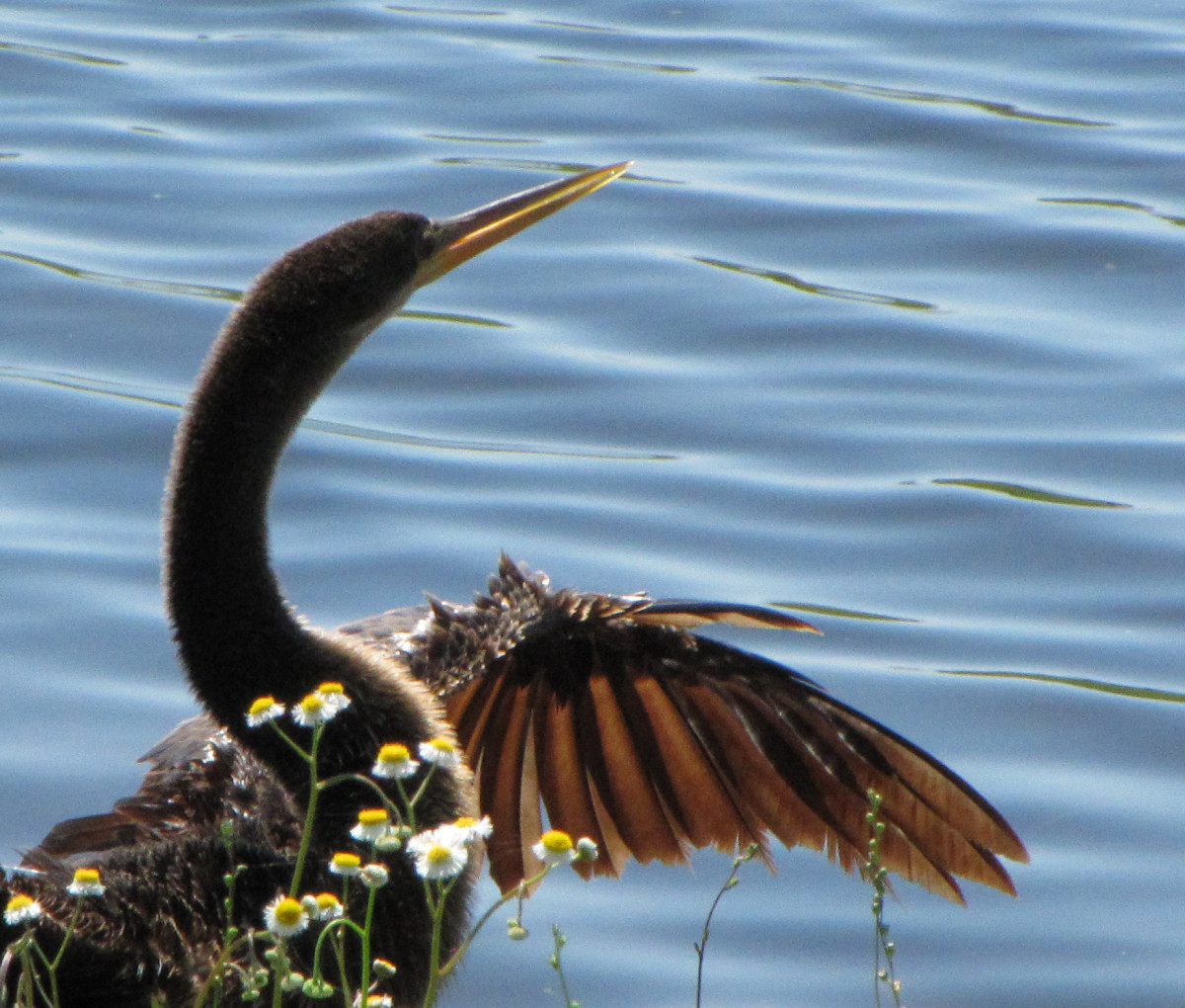 Pointed beak = Anhinga