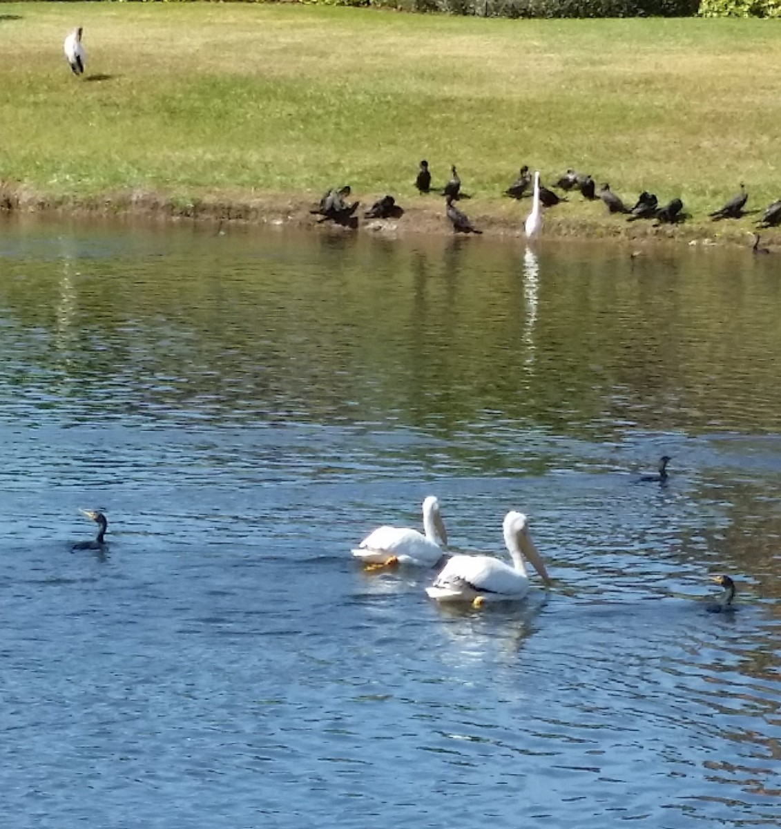 Not swans. The very large beak alerts you that these big birds are white pelicans.
