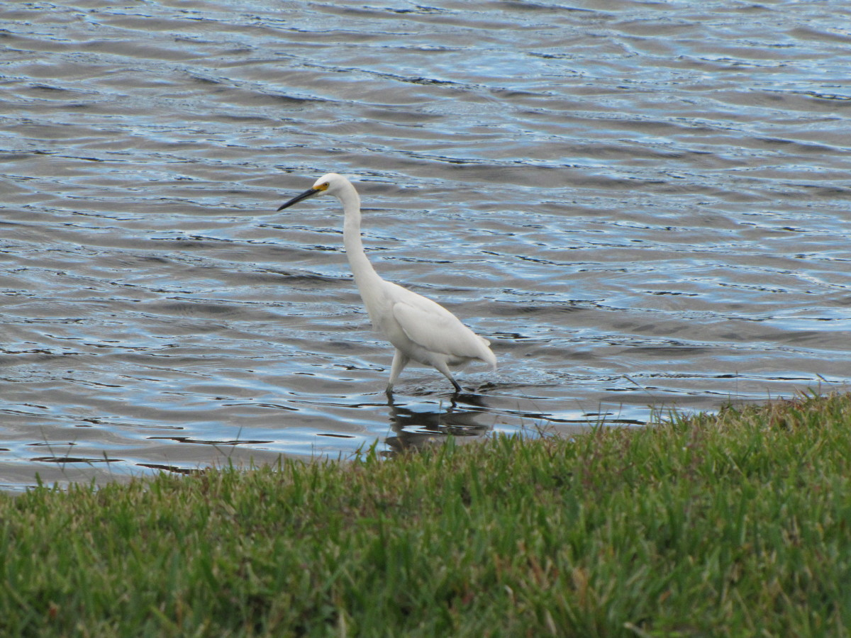 Snowy Egret - Smaller than great egret. Black beak, yellow feet.