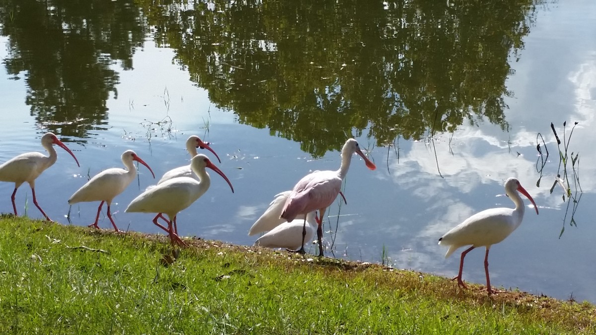 Note the spoonbill in the middle of a flock of ibis. At first glance, one might overlook it, but it is larger than the ibis and a light pink. The ibis are white. The broad, spatula-like beak is its most distinct feature.