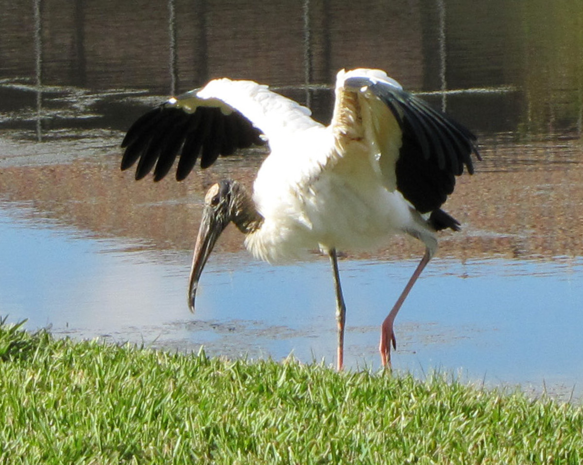 A wood stork in Florida.