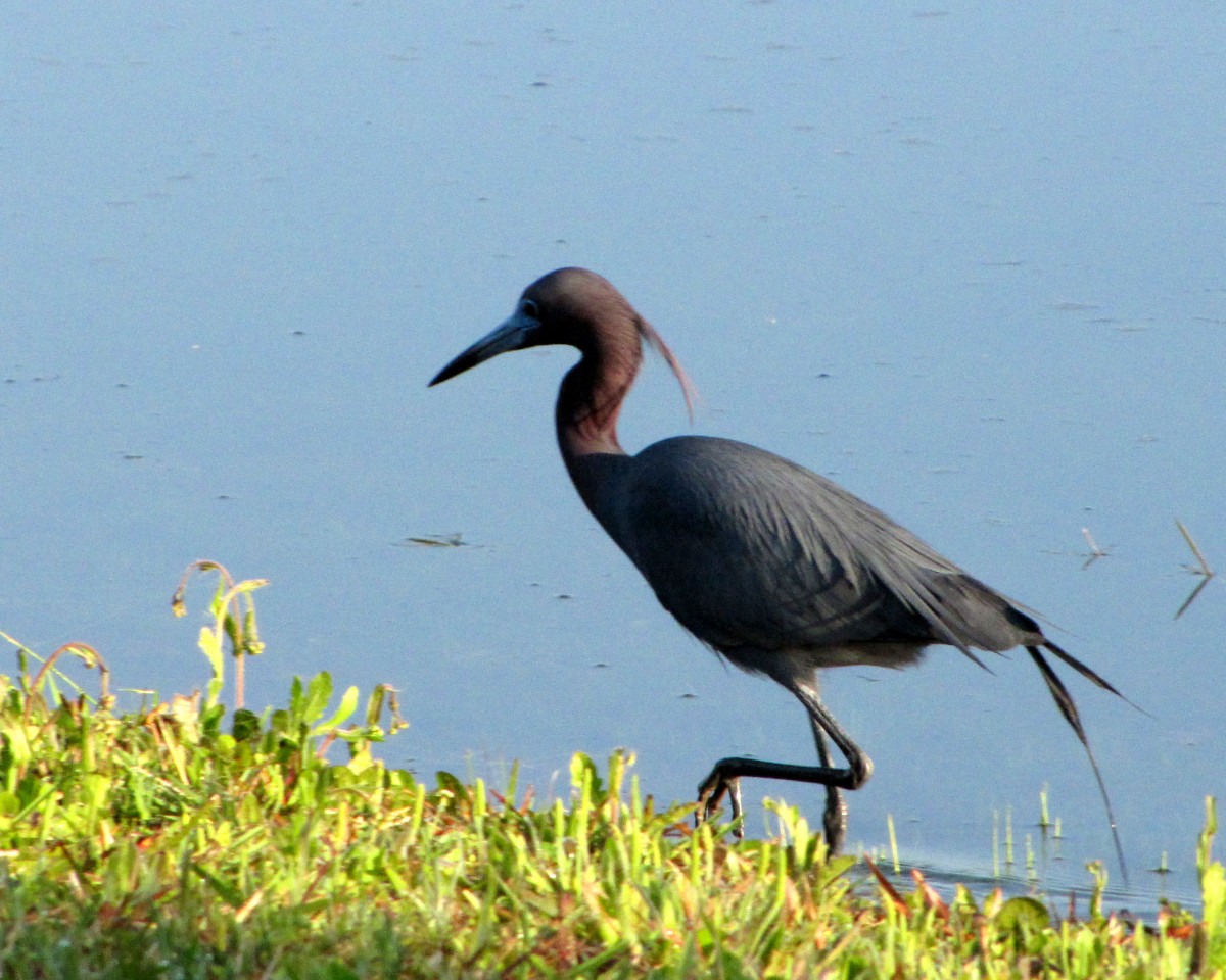 Little blue heron with breeding plumage