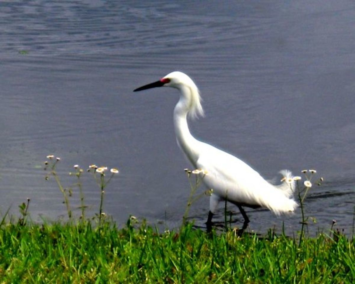 Snowy Egret - This shows breeding plumage around head and tail.