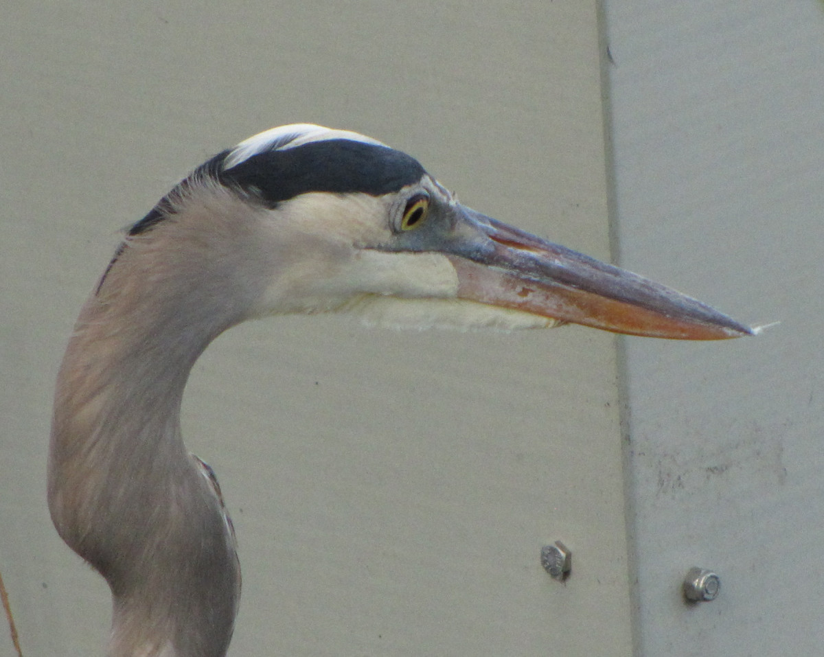 Close up of the blue heron's head