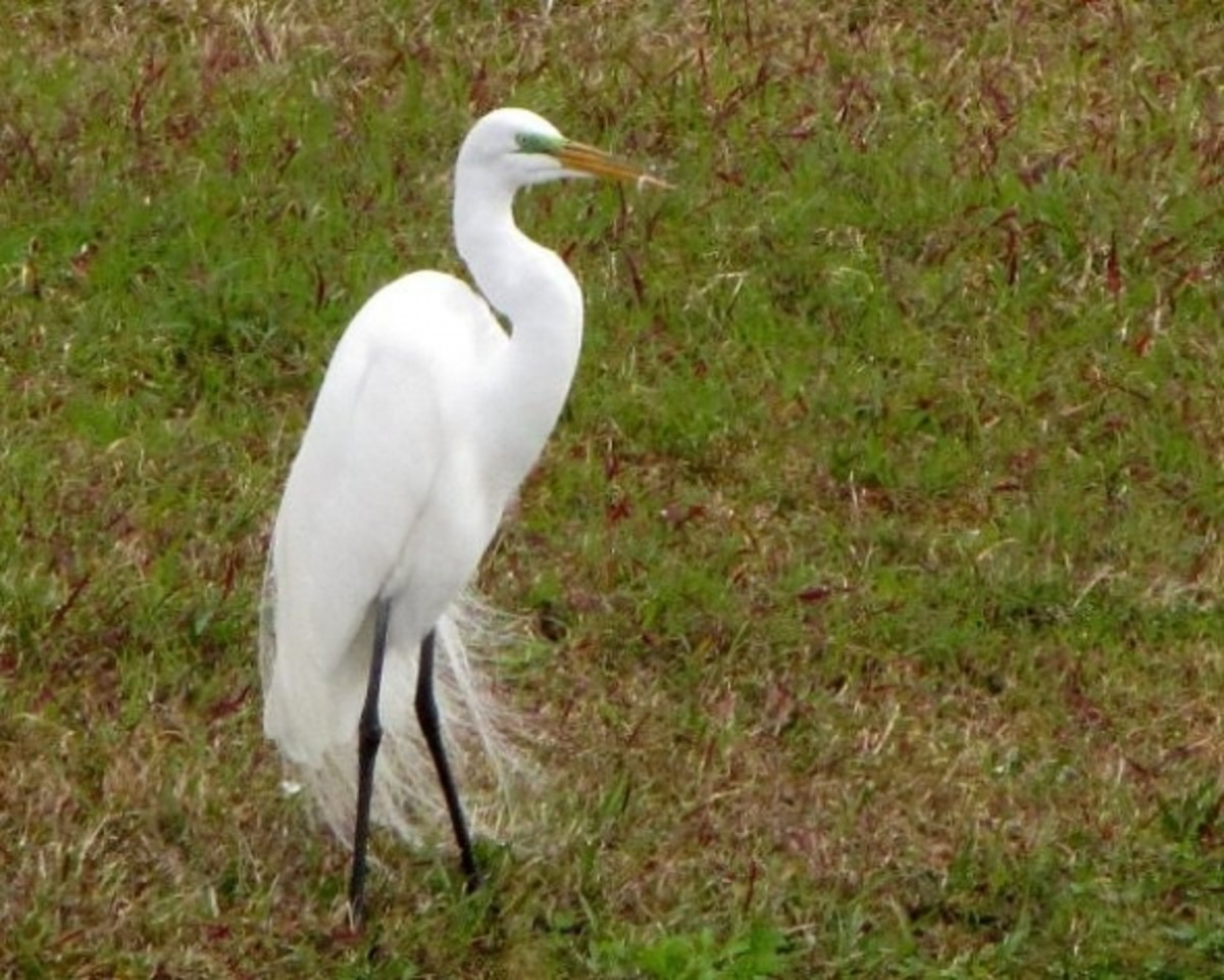 Great Egret - showing the breeding plumage