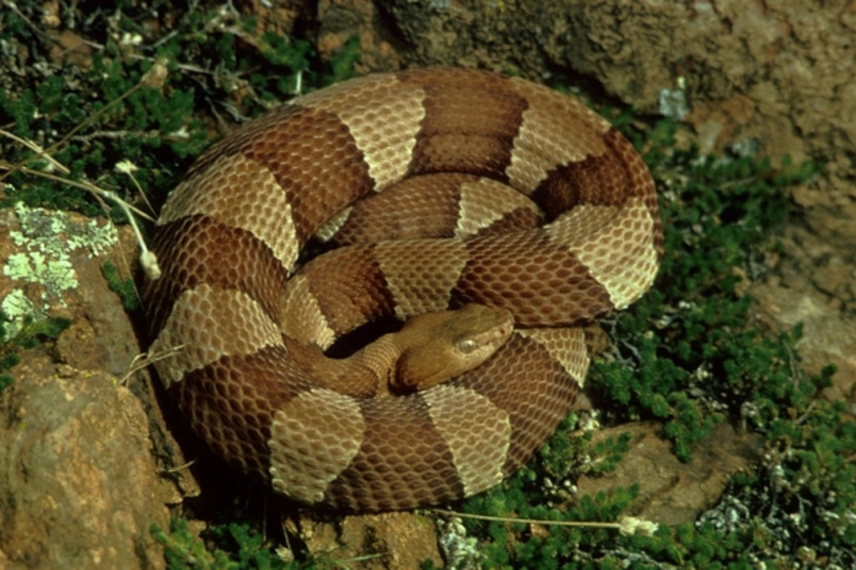 Copperhead Coiled