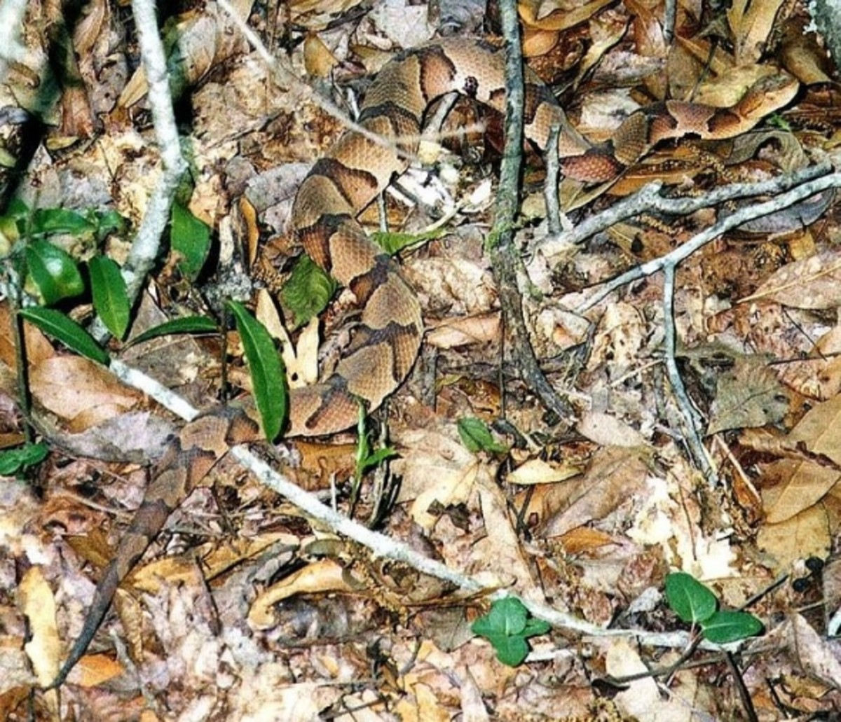 Copperhead Camouflaged in Leaves