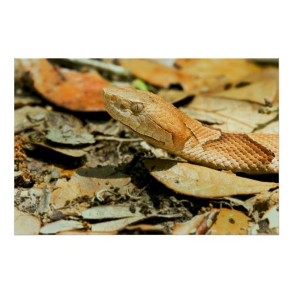copperhead-snake-louisiana