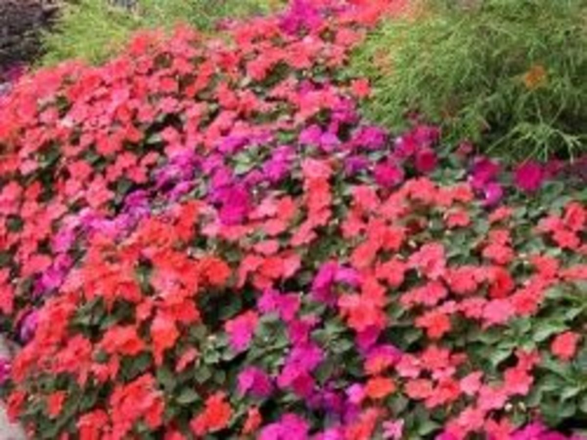 The Edible Impatiens