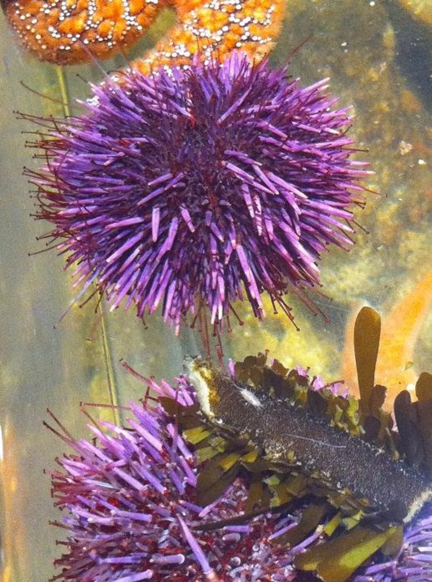 How To Remove Sea Urchin Spines Hubpages   Autos Weblog