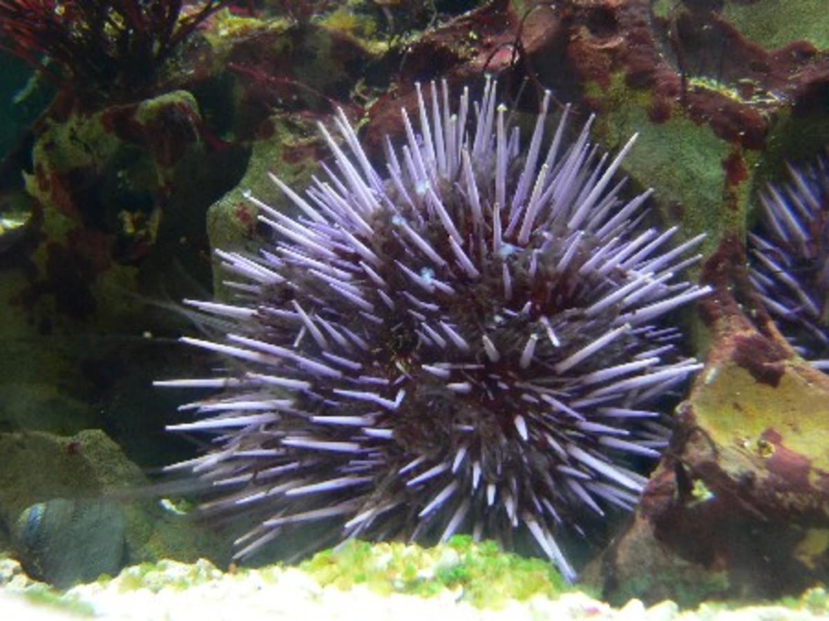 Purple Sea Urchin [Source: Science Mag]