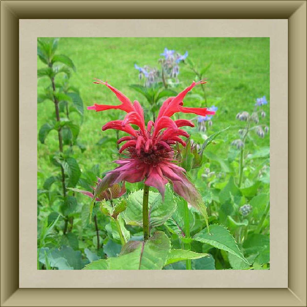 Bee Balm Blossom
