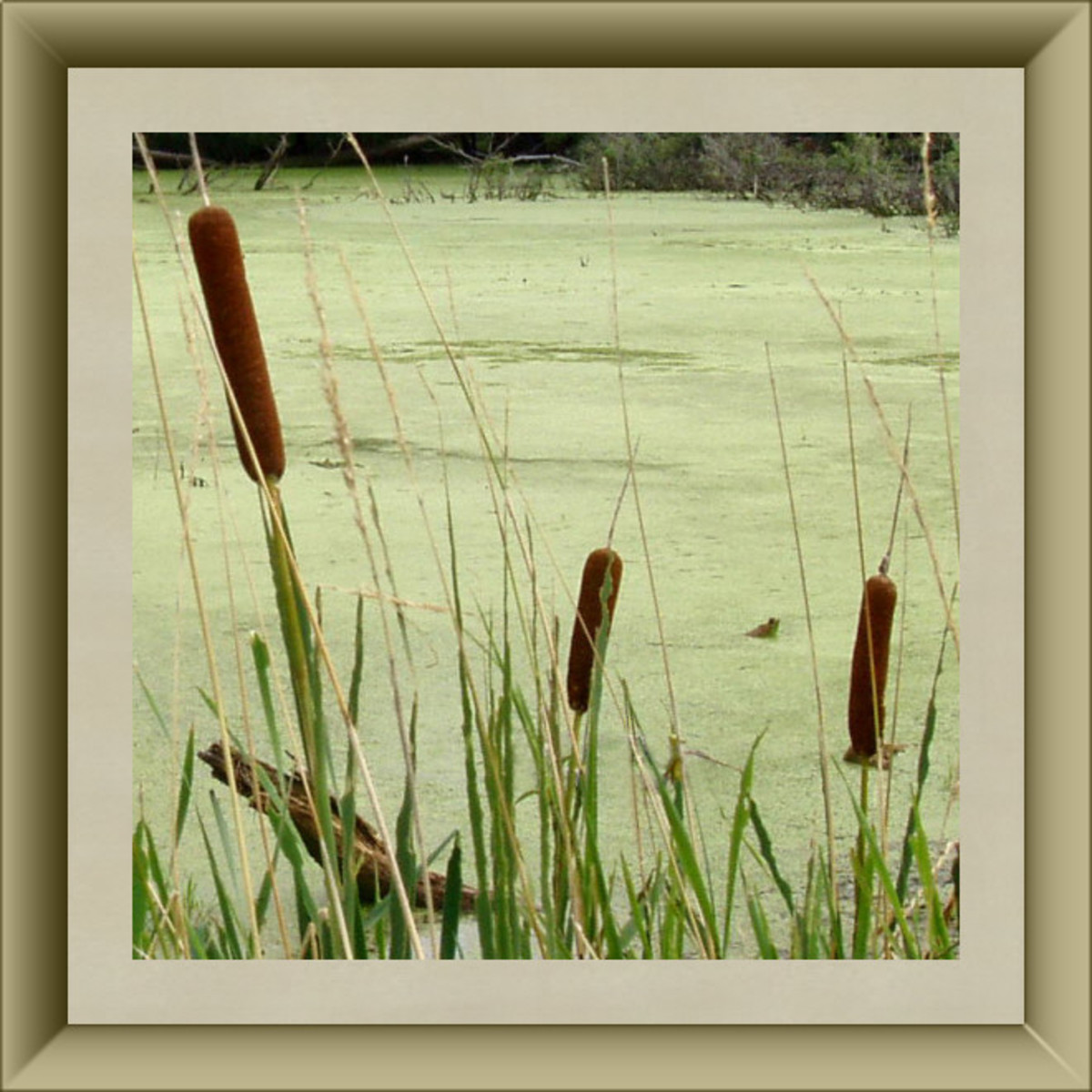 Cattail Blossoms