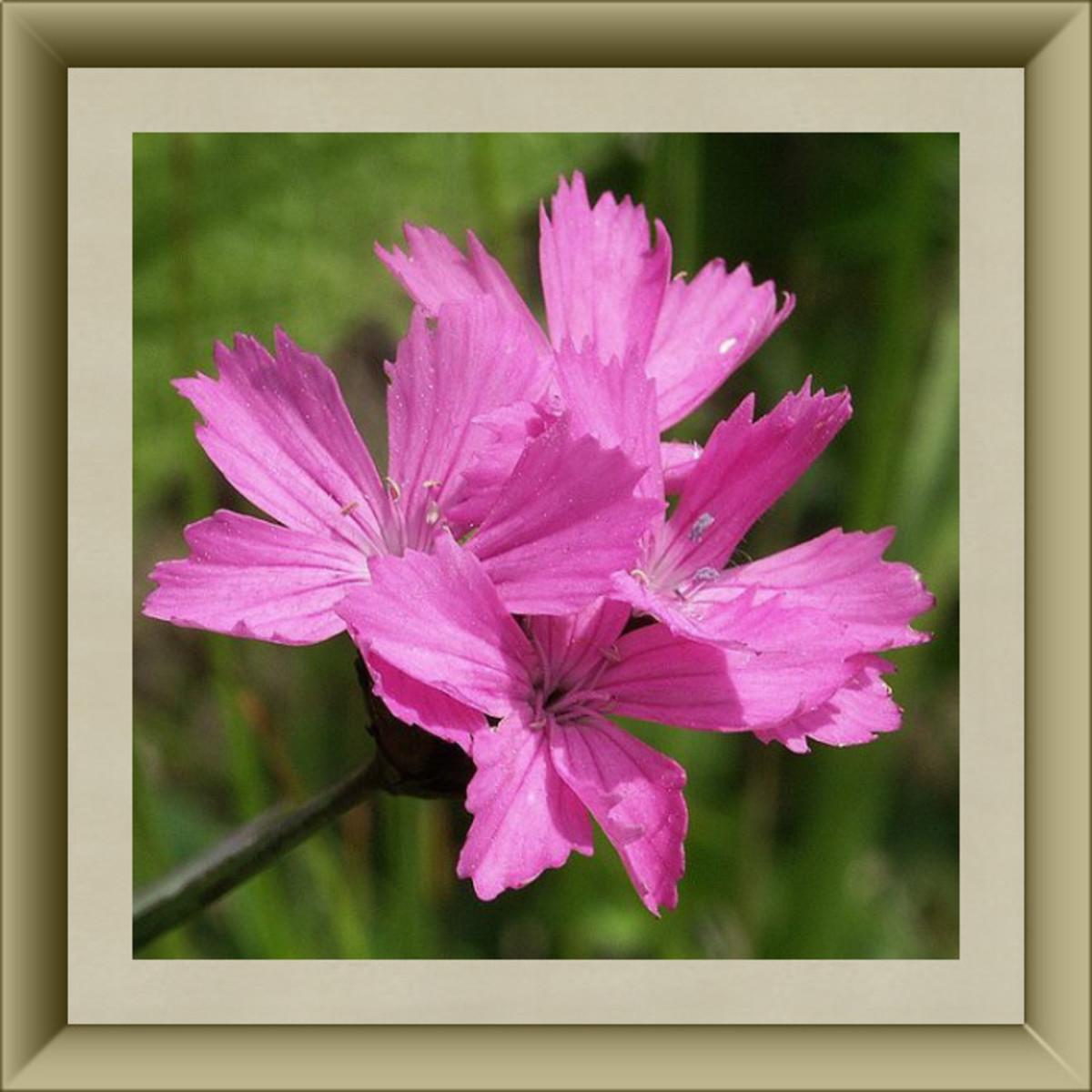 Dianthus blossoms