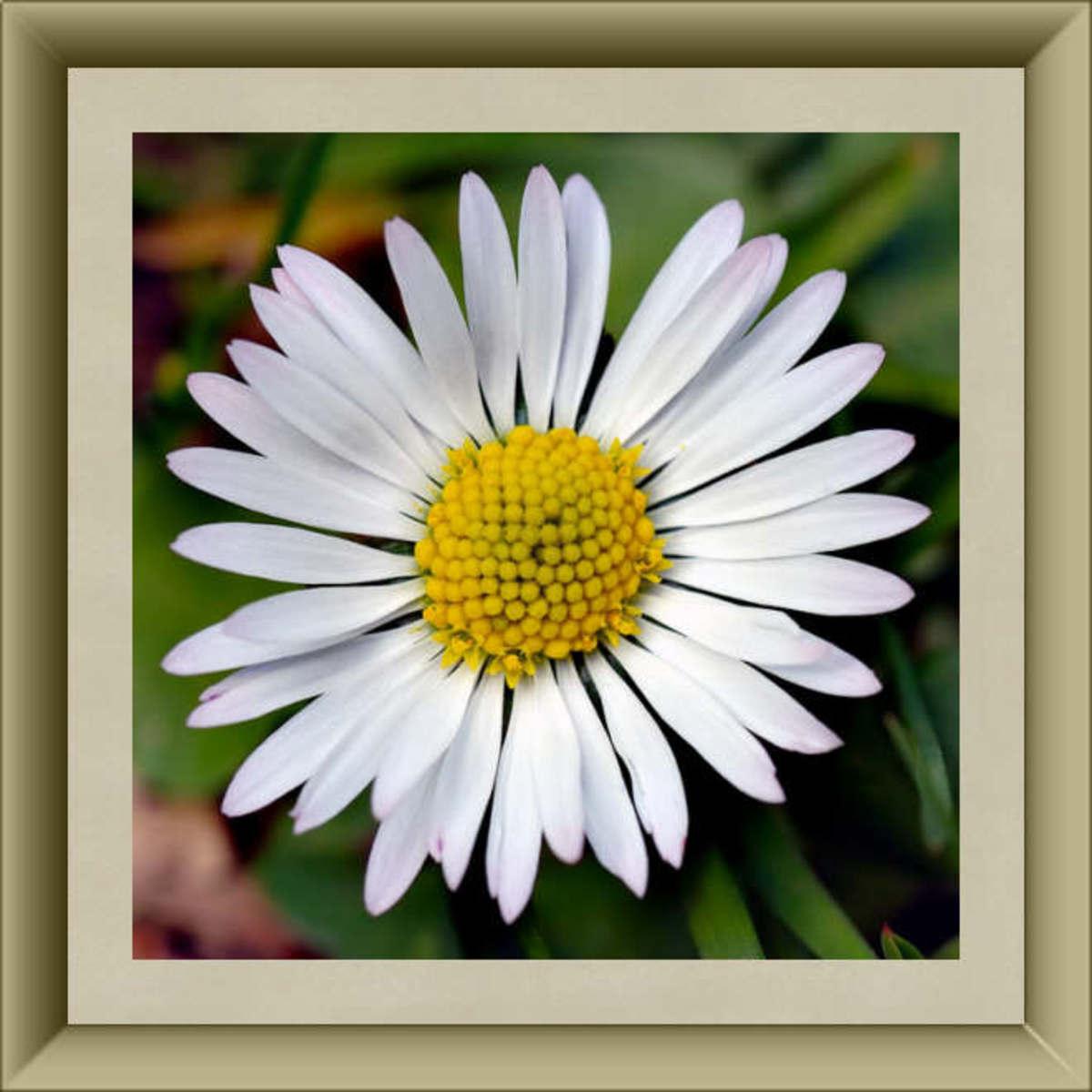 English Daisy Blossom