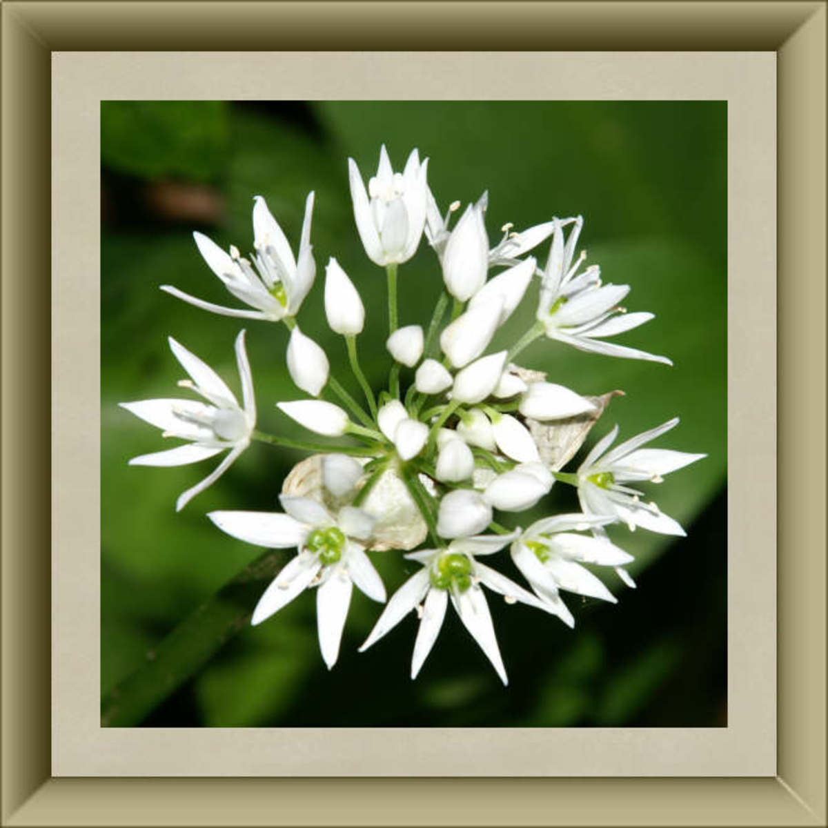 Garlic Blossoms