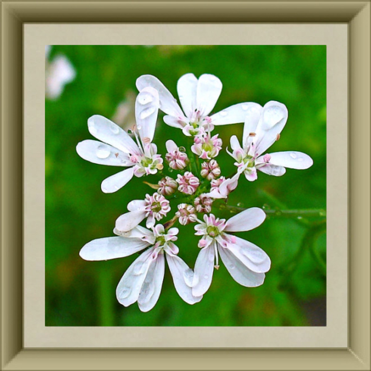 Coriander/Cilantro Blossoms
