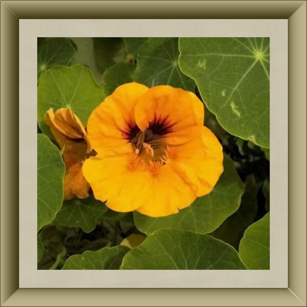 Nasturtium Blossom