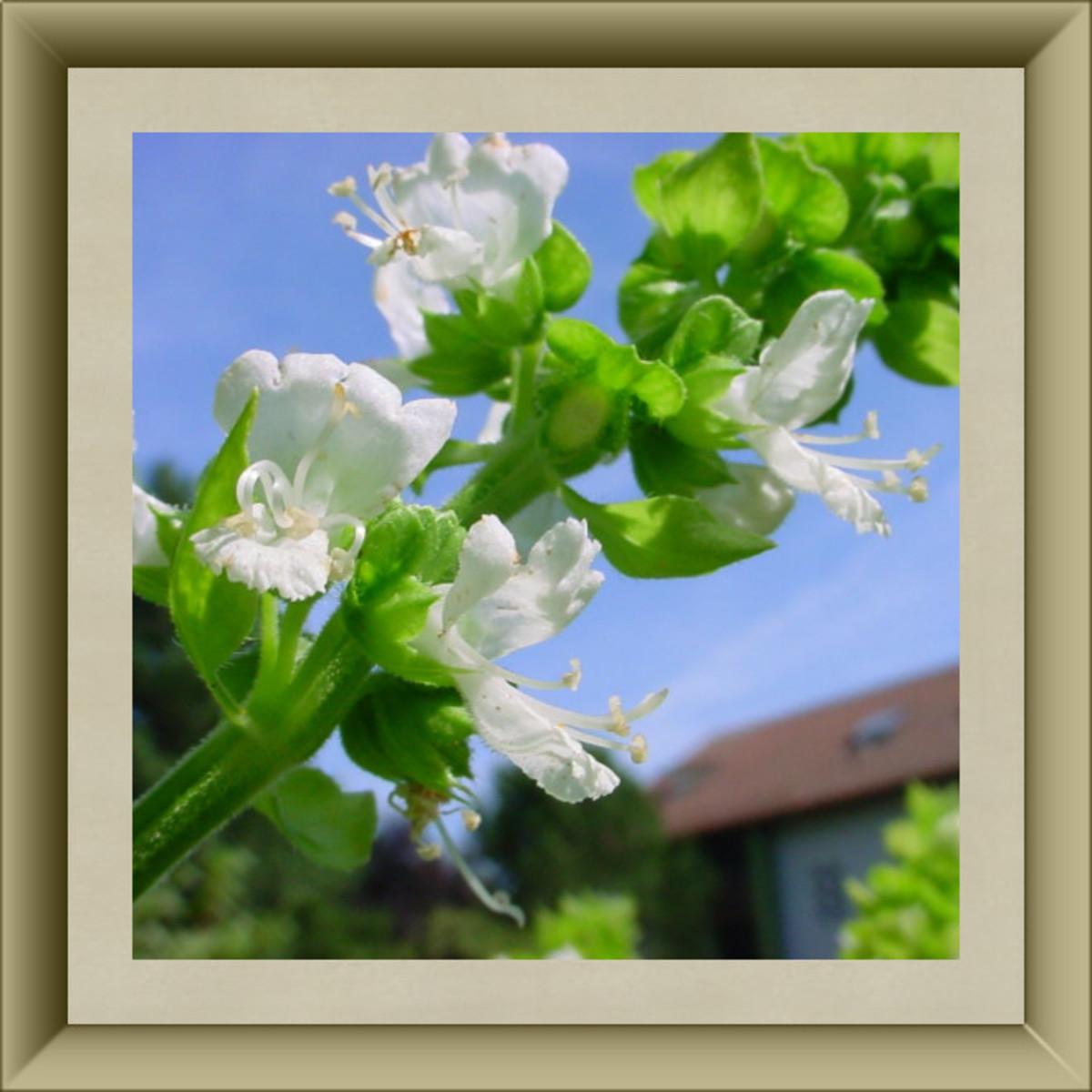 Basil Blossoms