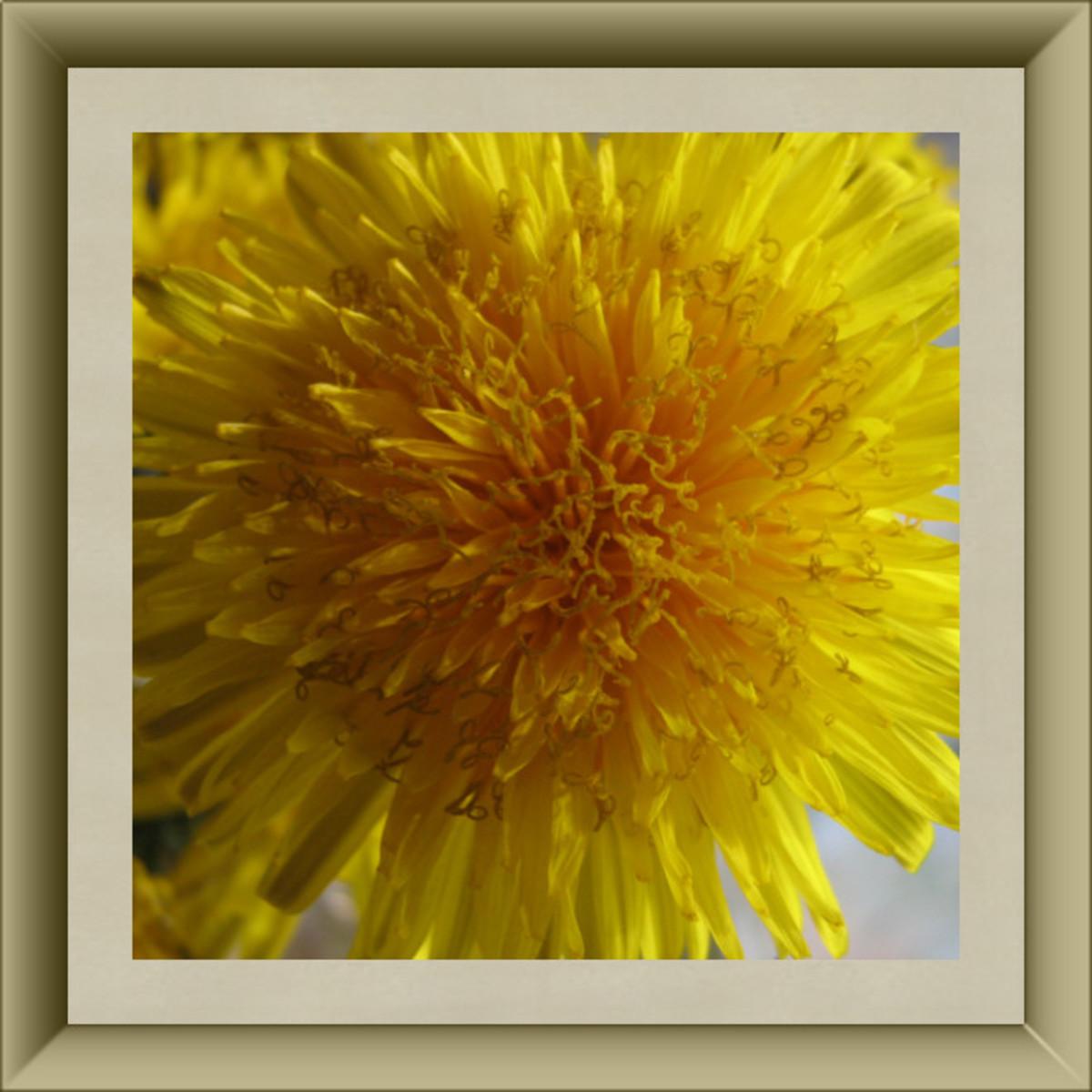 Dandelion Blossom