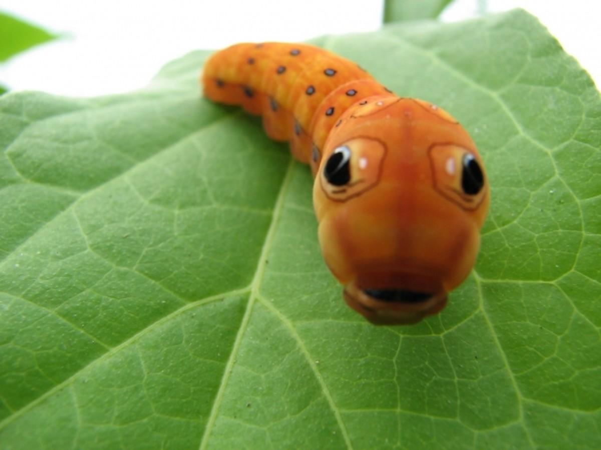 Taxonomy: genus & # x3D; citheronia photos on Flickr | Flickr