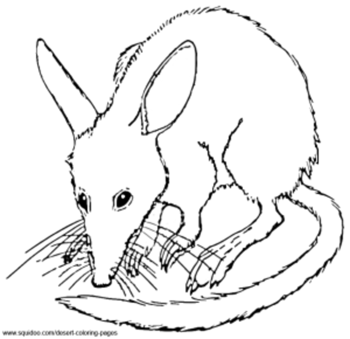 Bilby Coloring Pages