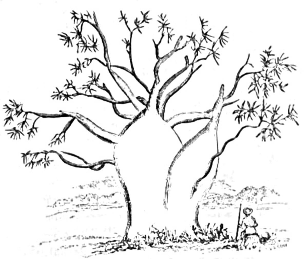 Baobab and Boab Tree Coloring Pages