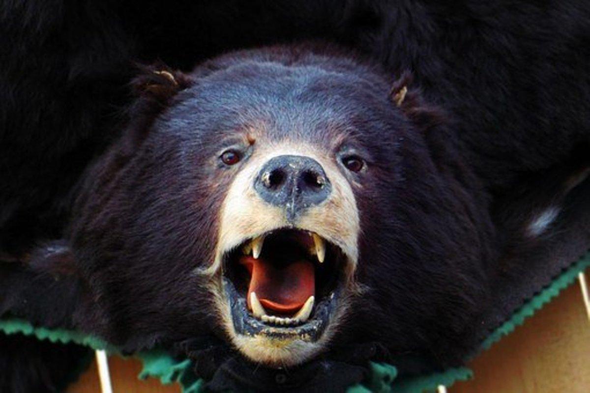 Like a bear with a sore head - idiom