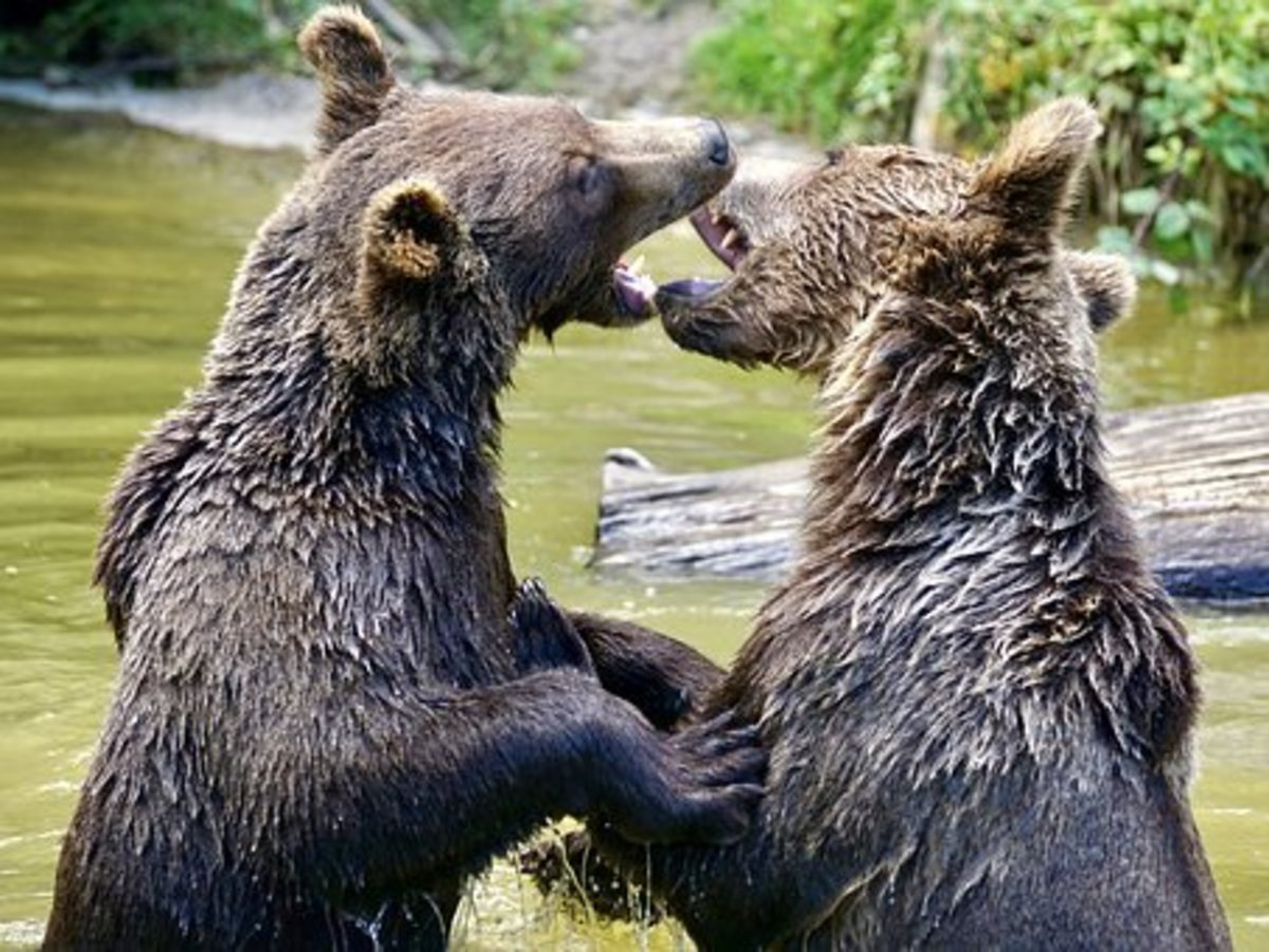 Always ready and prepared to step up and take action. These bears are certainly living up to their fearsome reputation.
