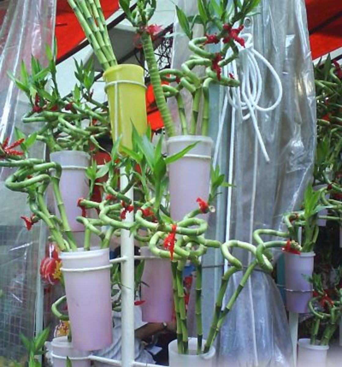 Fortune bamboo, curly-shaped