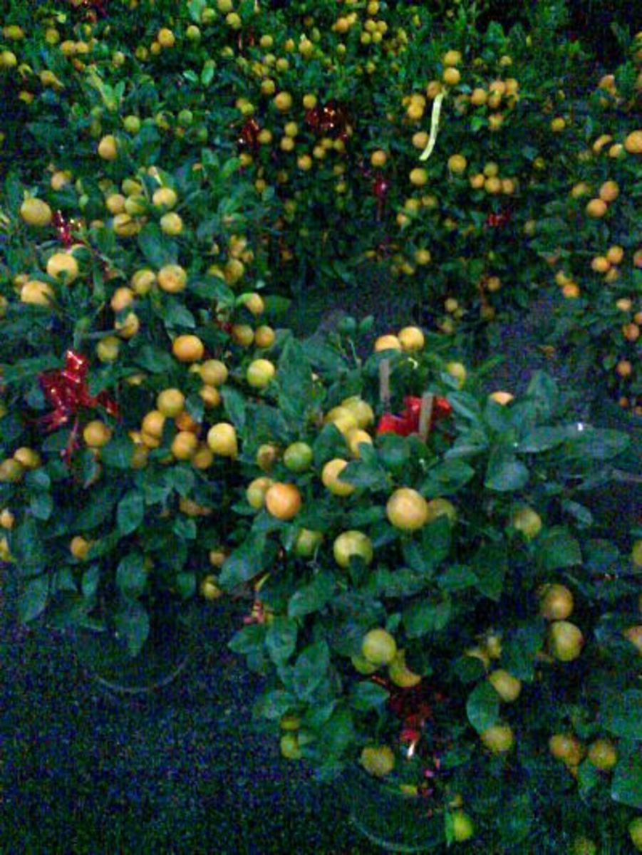 4 Season Kumquat