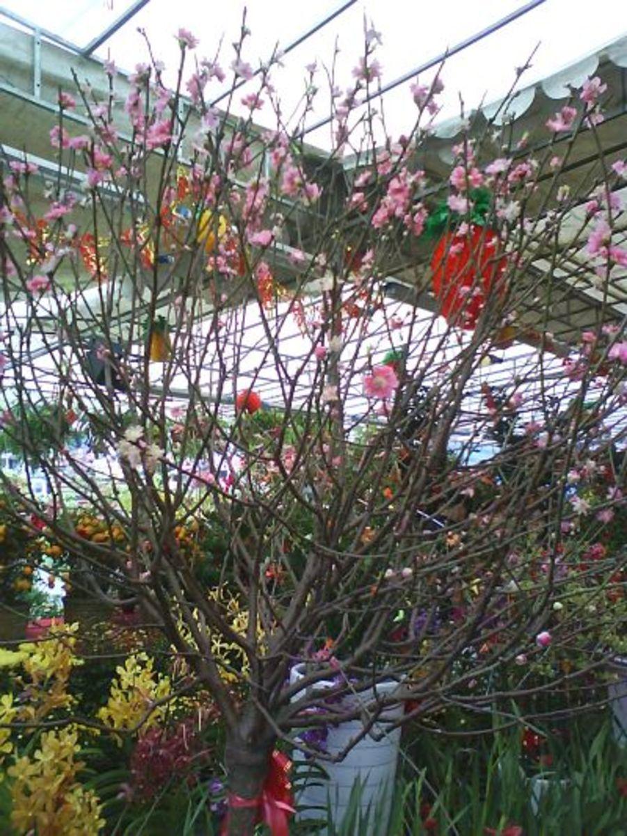peach blossom or taohua