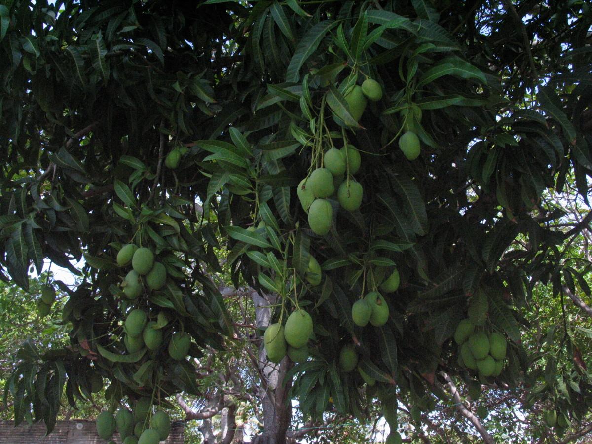 mango-juice-2