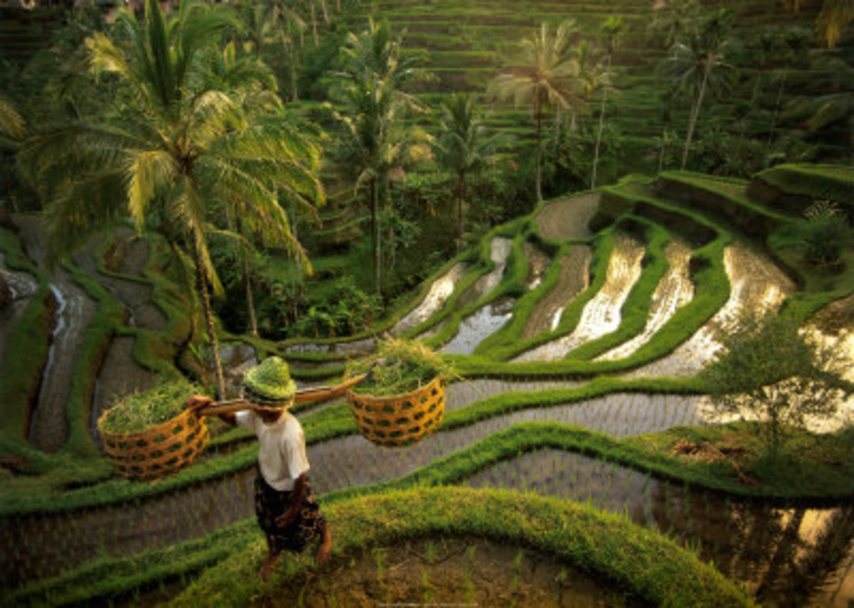 Bali Rice Field Terrace