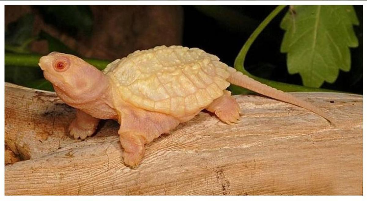 the-common-snapping-turtle-and-the-uncommon-snapping-turtle