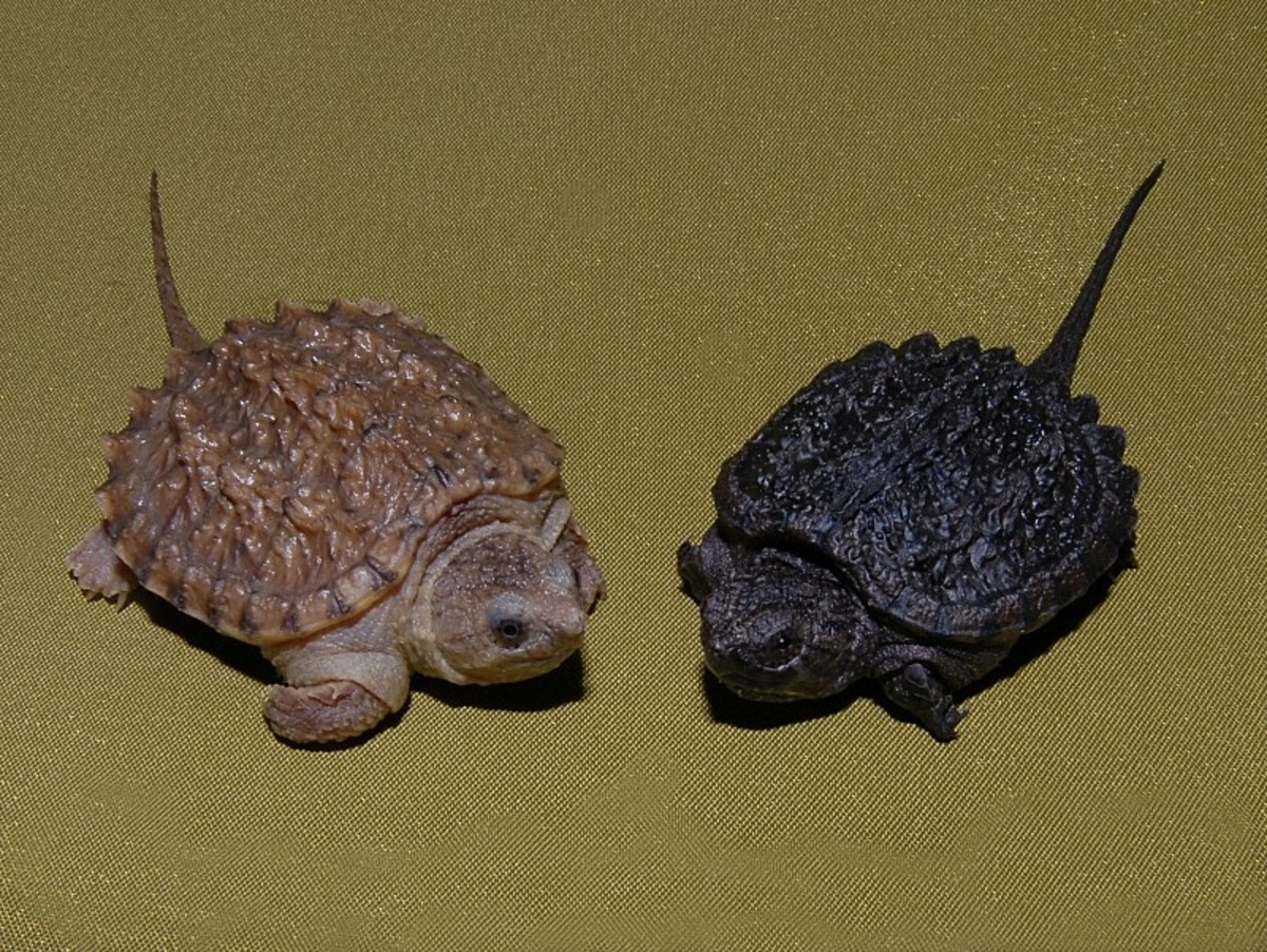 A cinnamon hatchling compared to a normal hatchling