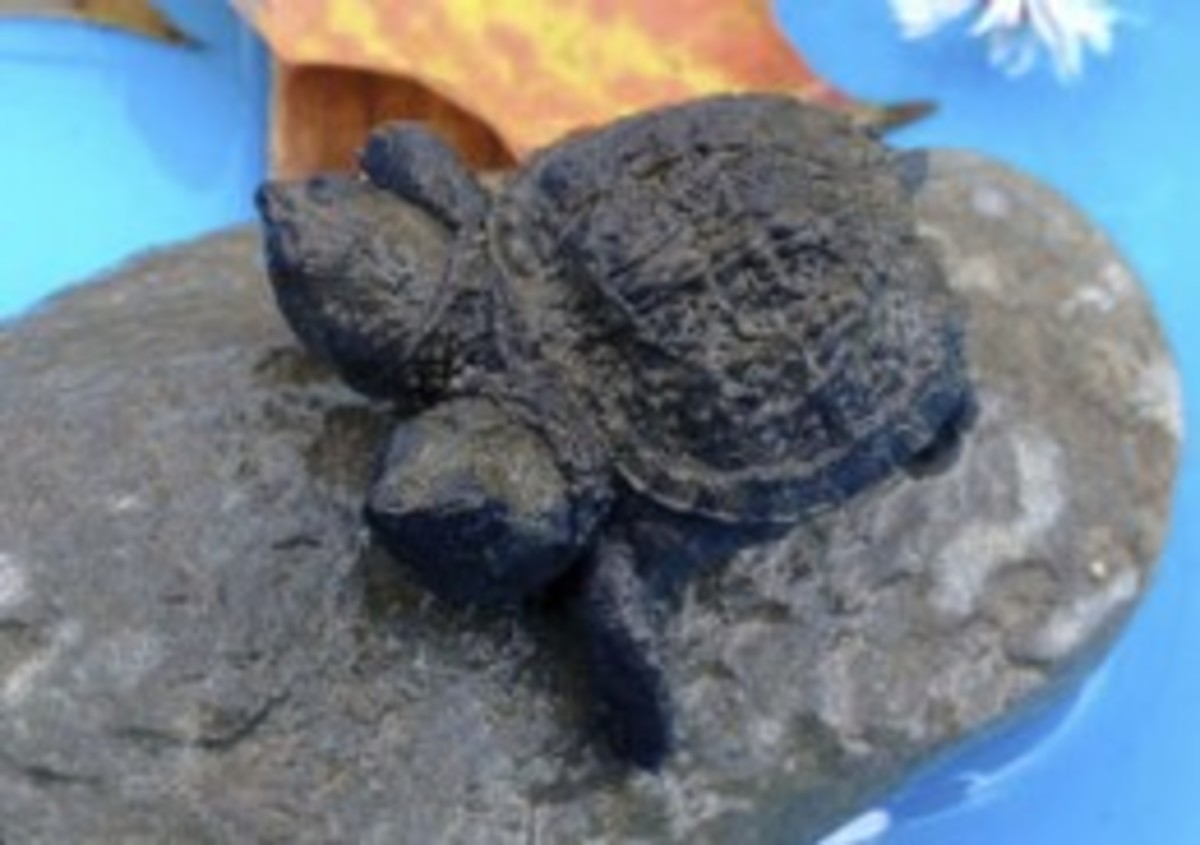 Sept. 25, 2014, a two-headed snapping turtle sits on a rock in Hudson, Maine. Kathleen Talbot, of Hudson, found the baby..