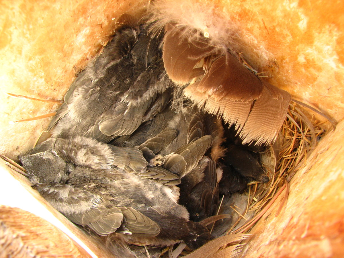 7 Baby Tree Sparrows in our Birdhouse. Can you see them all?