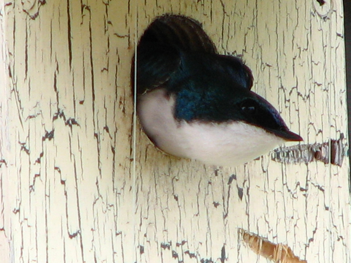 Tree Swallow who regularly nests in our bird house