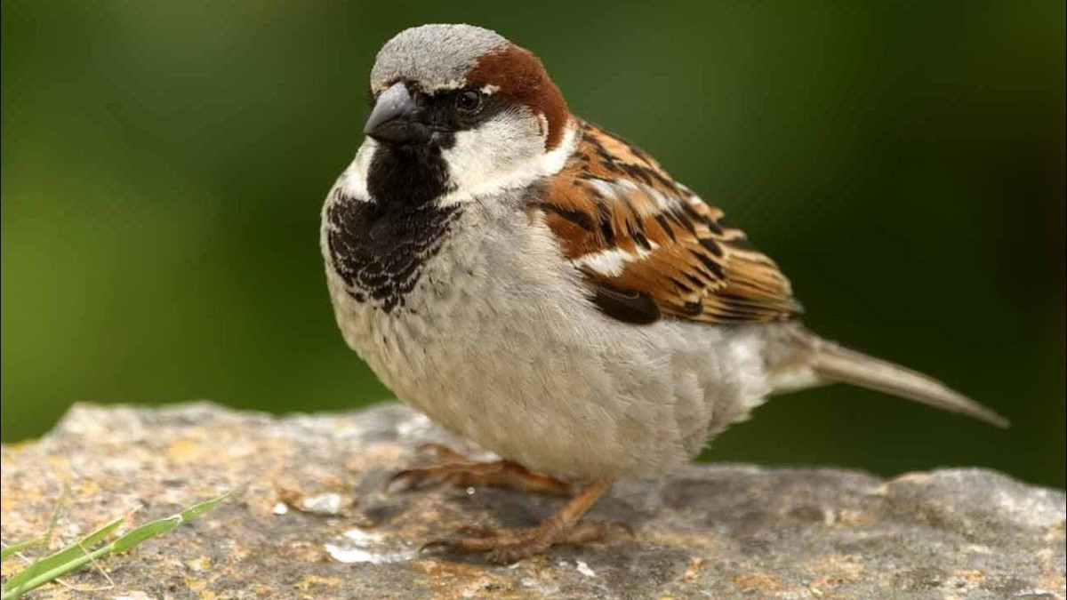 Male European House Sparrow