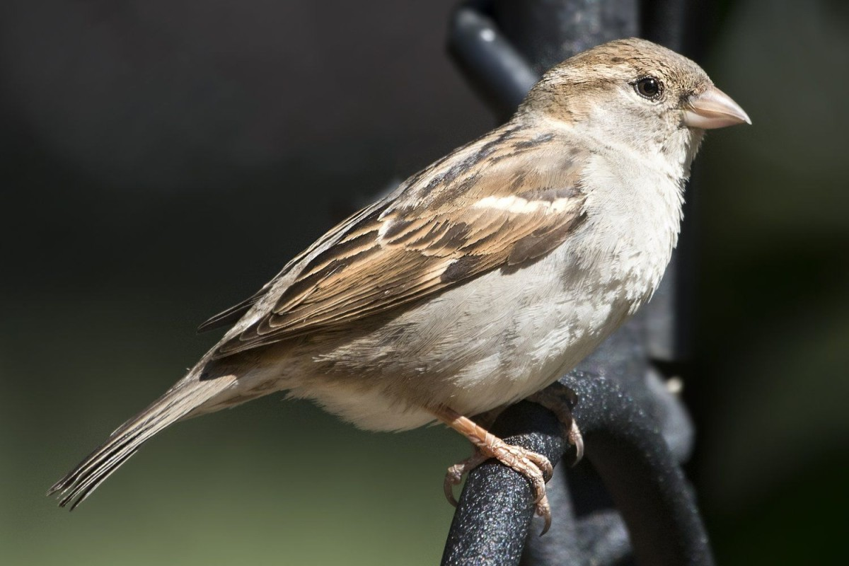 Female European House Sparrow