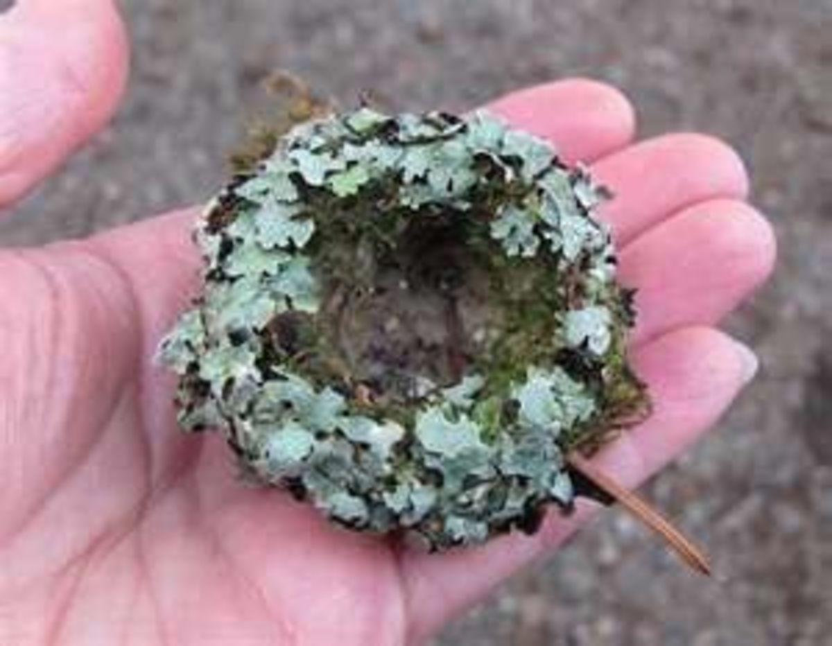 A hummingbird nest