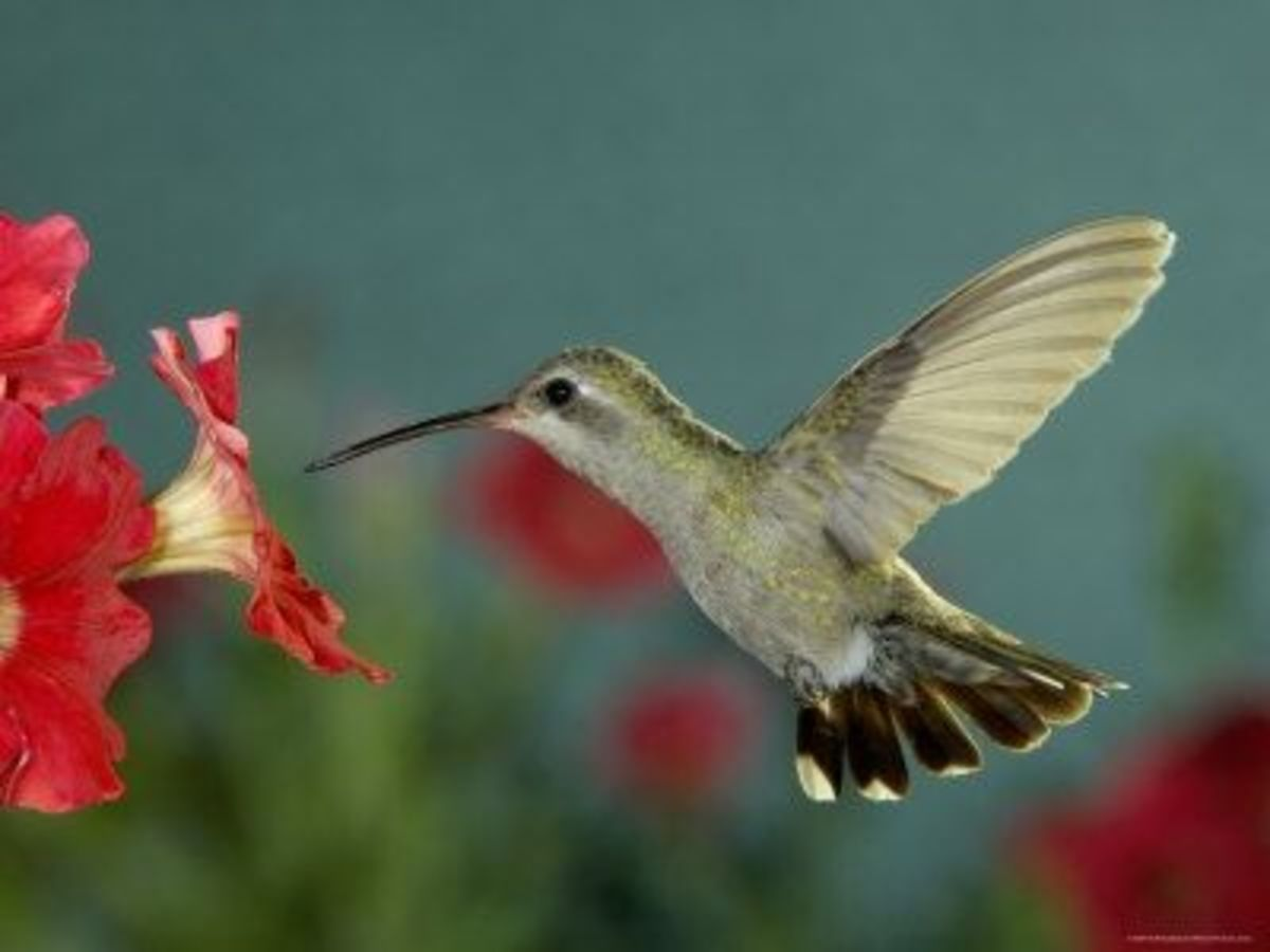 HUMMINGBIRD W RED FLOWER