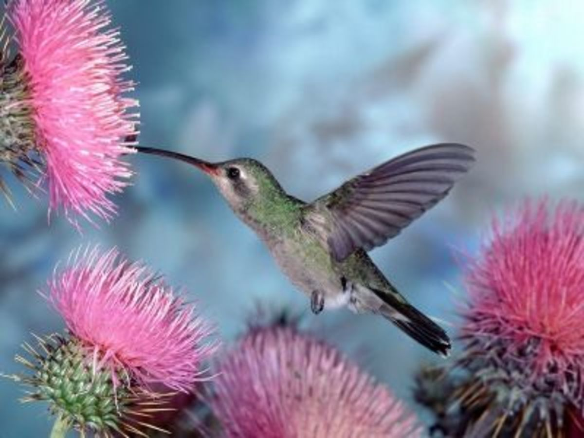 attracting-backyard-hummingbirds