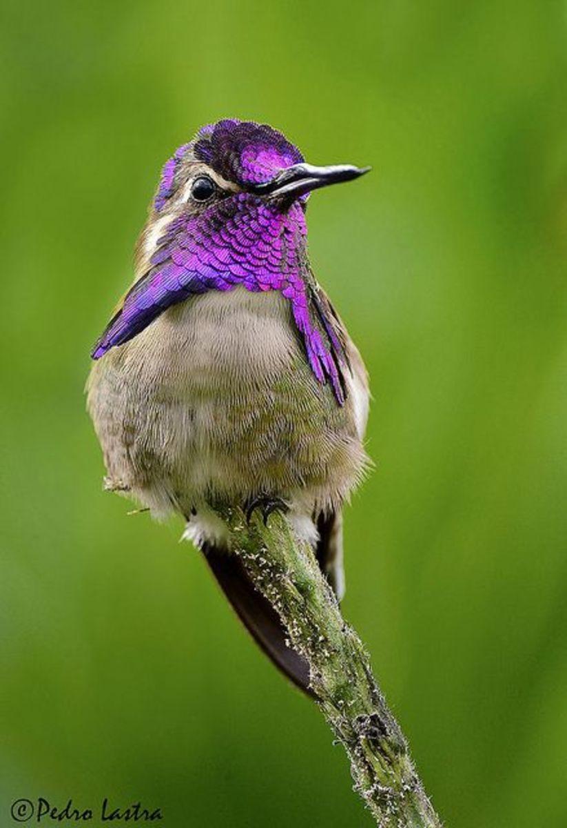 attracting-backyard-hummingbirds