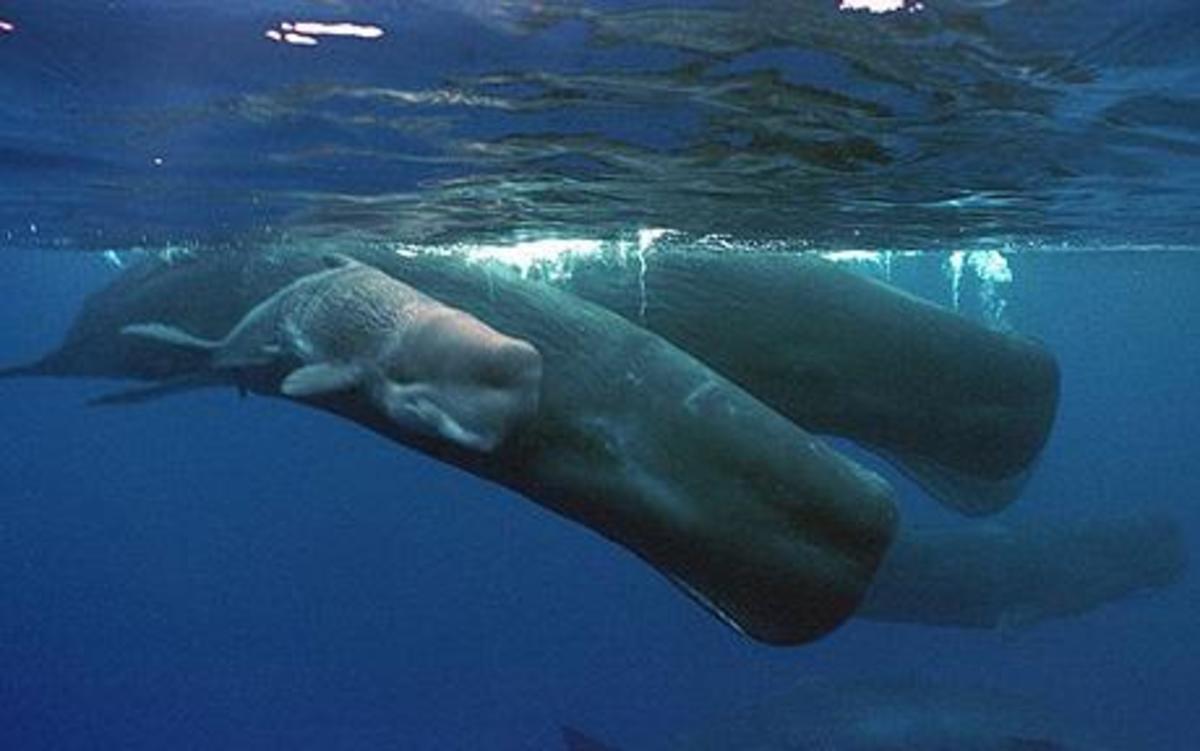 Sperm whales.