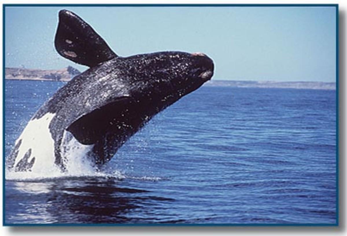 A right whale breach.