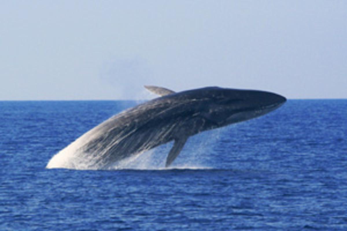 A fin whale breach.
