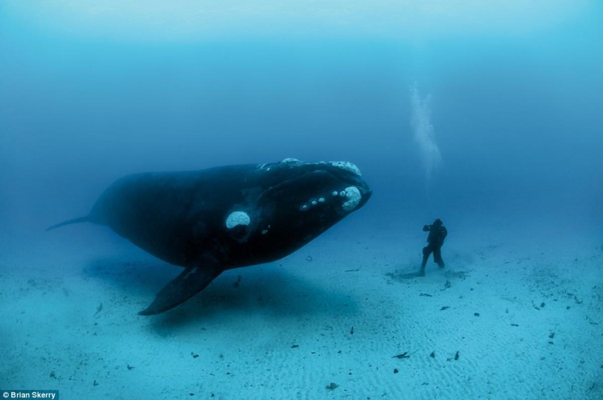 A bowhead whale approaching a diver.