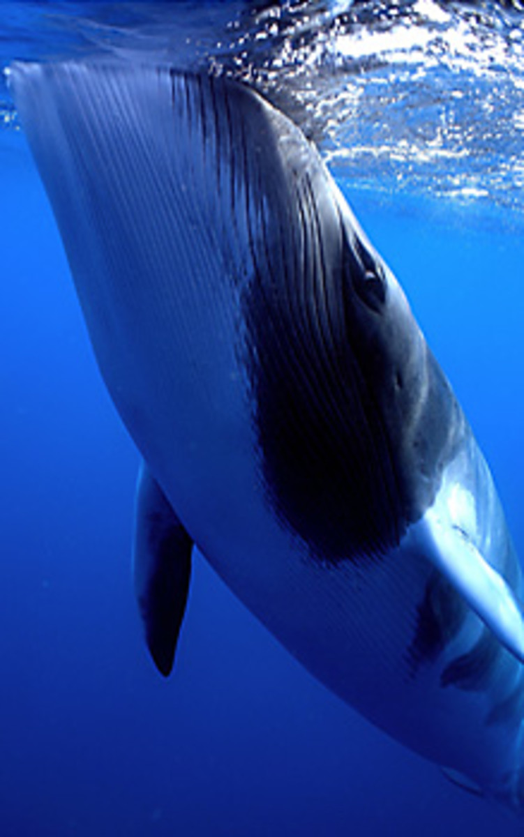 A minke whale at the surface.